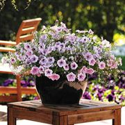 Cotton Candy Petunia and Bacopa Seeds
