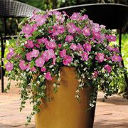 Silk 'n Satin Fuseable Petunia and Bacopa Seeds (P) Pkt of 10 seeds image