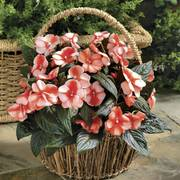 Florific™ Sweet Orange Hybrid New Guinea Impatiens Seeds