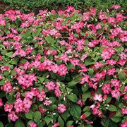 Stars Aligned Hybrid Impatiens Flower Seeds