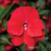 Florific™ Red New Guinea Impatiens Seeds