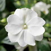 Florific™ White New Guinea Impatiens Seeds