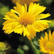 Mesa Yellow Blanket Flower Seeds