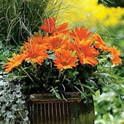 New Day Clear Orange Gazania Flower Seeds