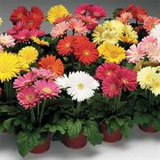 Jaguar Mix Gerbera Daisy Seeds image