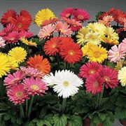 Jaguar Mix Gerbera Daisy Seeds