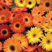 Revolution Yellow-Orange Gerbera Daisy Seeds image