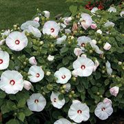 Luna™ Pink Swirl Rose Mallow Seeds