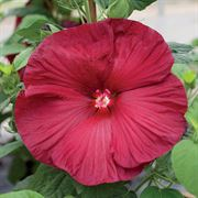 Honeymoon Deep Red Hibiscus Seeds image