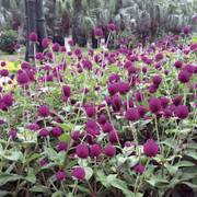 Las Vegas Purple Gomphrena Seeds