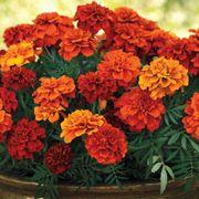 Fireball Marigold Seeds Alternate Image 1