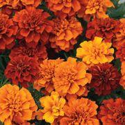 Fireball Marigold Seeds Alternate Image 2