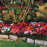 Divine Mix New Guinea Impatiens Seeds (P) Pkt of 15 seeds image