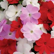 Divine Islander Mix New Guinea Impatiens Seeds image