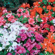 Athena Red Flash Impatiens Flower Seeds