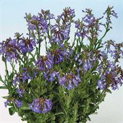 Delft Blue Lobelia Seeds
