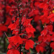 Starship Scarlet Lobelia Seeds