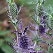 Leavenworth Eryngo Seeds image