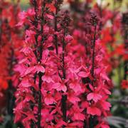 Starship Deep Rose Lobelia Seeds