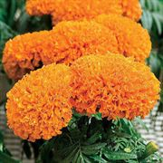 Moonsong Deep Orange Marigold Seeds