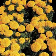 Moonstruck Yellow Marigold Seeds
