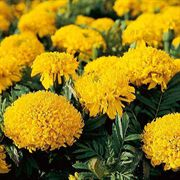 Mumsy Gold Marigold Seeds