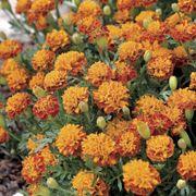 Mowgli Bicolor Marigold Seeds image