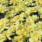 Alumia Vanilla Cream Marigold Seeds
