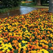 Hot Pak™ Mixture Marigold Seeds Thumb