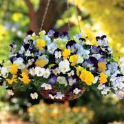 Cool Wave™ Mix Pansy Seeds image
