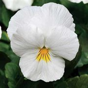 Cool Wave™ White Pansy Seeds