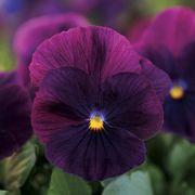 Cool Wave™ Purple Pansy Seeds