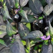 Black Hawk Ornamental Pepper Seeds image