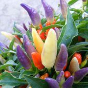 NuMex Easter Ornamental Pepper Seeds Alternate Image 2