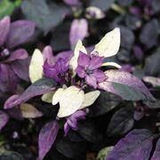 Purple Flash Ornamental Pepper Seeds