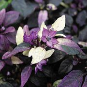 Purple Flash Ornamental Pepper Seeds