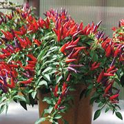 Sangria Hybrid Ornamental Pepper Seeds