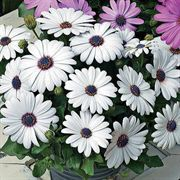 Asti™ White Osteospermum Flower Seeds