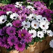 Asti™ Mix Osteospermum Seeds