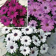 Asti™ Mix Osteospermum Flower Seeds