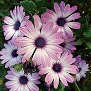 Asti™ Purple Bicolor Osteospermum Seeds