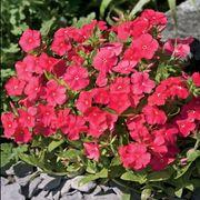 Pomegranate Phlox Seeds image