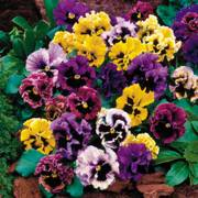 Flirty Skirts Mix Pansy Seeds image