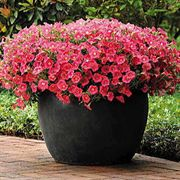 Shock Wave® Coral Crush Petunia Seeds image
