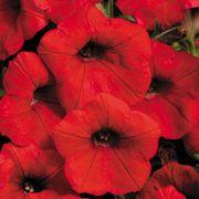 Shock Wave® Red Petunia Seeds