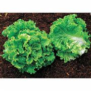Green Ice Lettuce Seeds