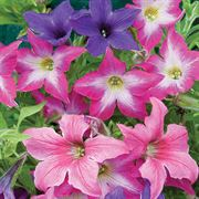 'Sparklers' Petunia Seeds Thumb