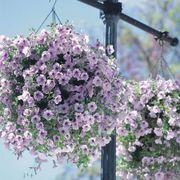 Opera Supreme Lilac Ice Petunia Seeds Alternate Image 1
