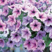 Opera Supreme Lilac Ice Petunia Seeds Alternate Image 2