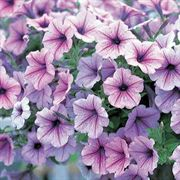 Opera Supreme Lilac ice Petunia Flower Seeds